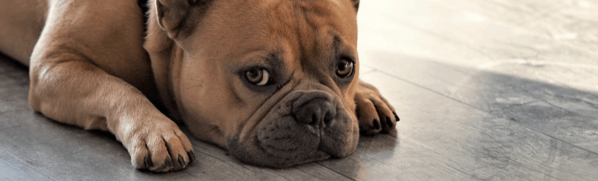 A French Bulldog purchased with the help of financing.