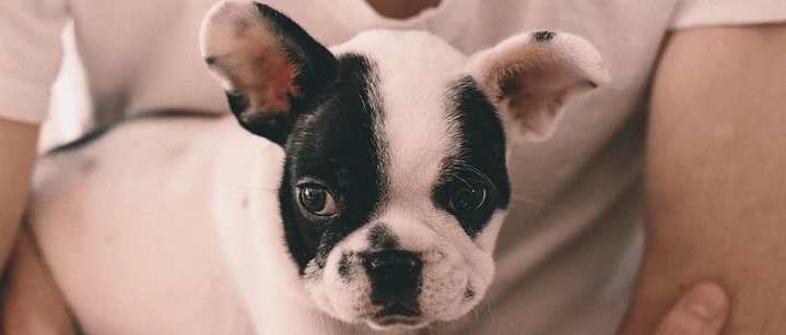 A French Bulldog that probably cost about 2 to 3000 dollars.