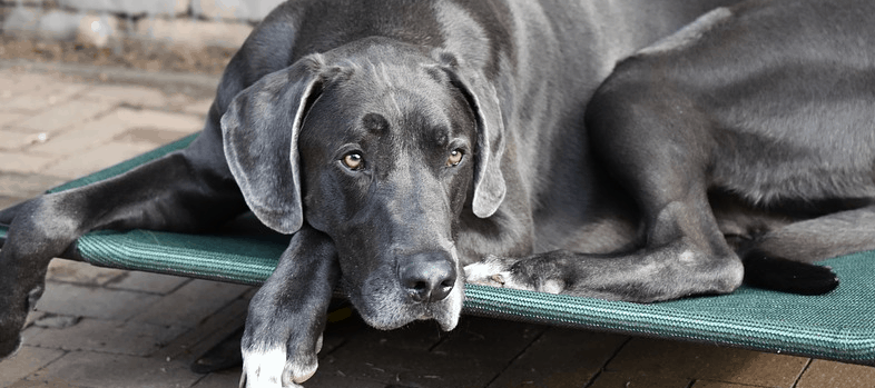 A great dane laying down that was financed with a loan.