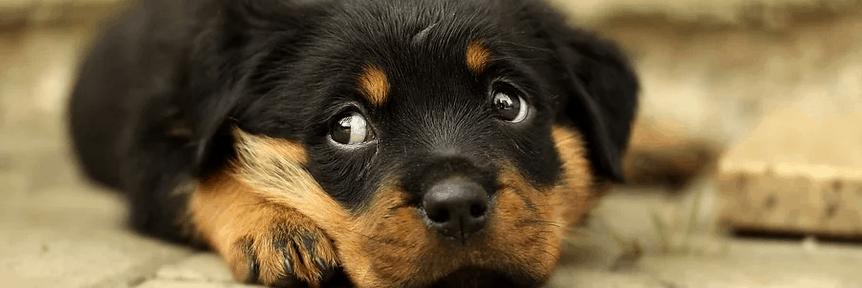 A puppy with sad eyes.