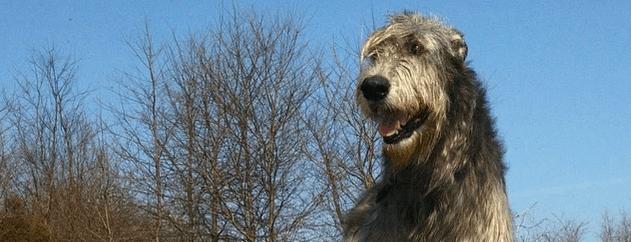 An Irish Wolfhound dog.