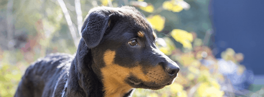 A Rottweiler puppy for financing.