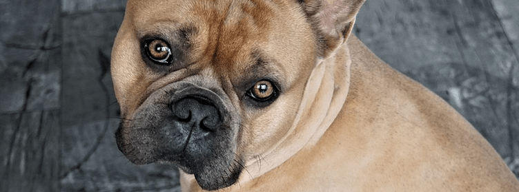 French Bulldog looking at you.