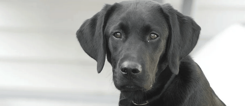 A Labrador Retriever dog.