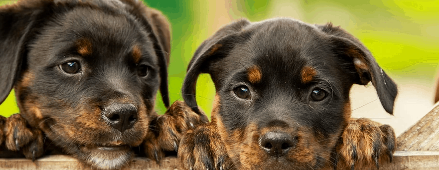 Puppies from bad credit pet loans.
