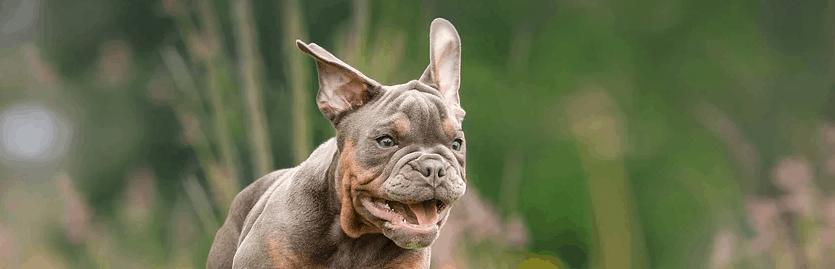 English Bulldog Running.