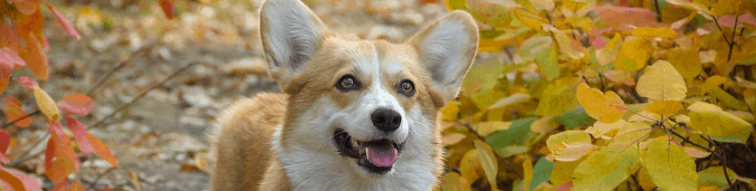 A Corgis puppy.