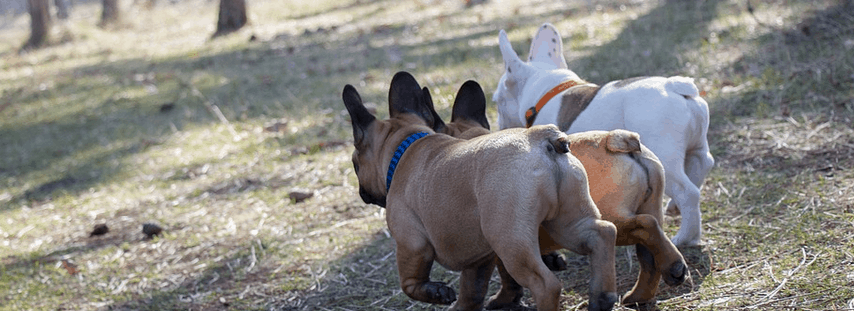 French Bulldogs from a breeder that offered financing.