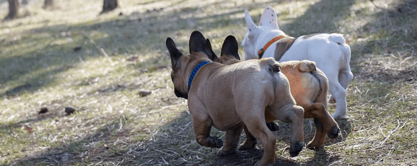 Three French Bulldogs with different names.