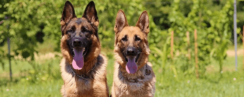 German Shepherds that wer not purchased cheap.