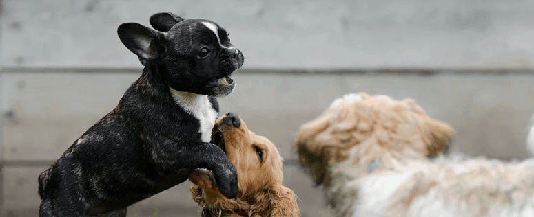 A puppy playing with adult dogs.