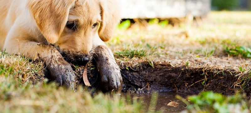 A puppy playing in a mud hole