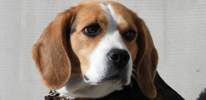 A beagle being crate trained.