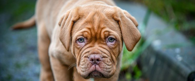 A mastiff puppy likely purchased with financing.