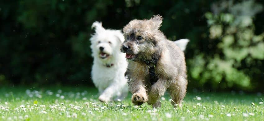 Puppies playing in a yard.