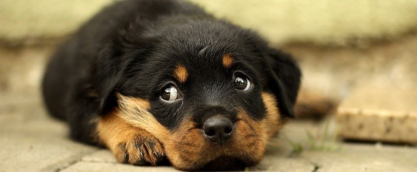 A rottweiller puppy from dog breeders.